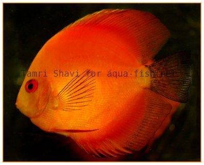 Discus fish image - first