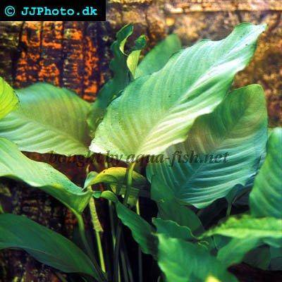 a profile of anubias barteri with images
