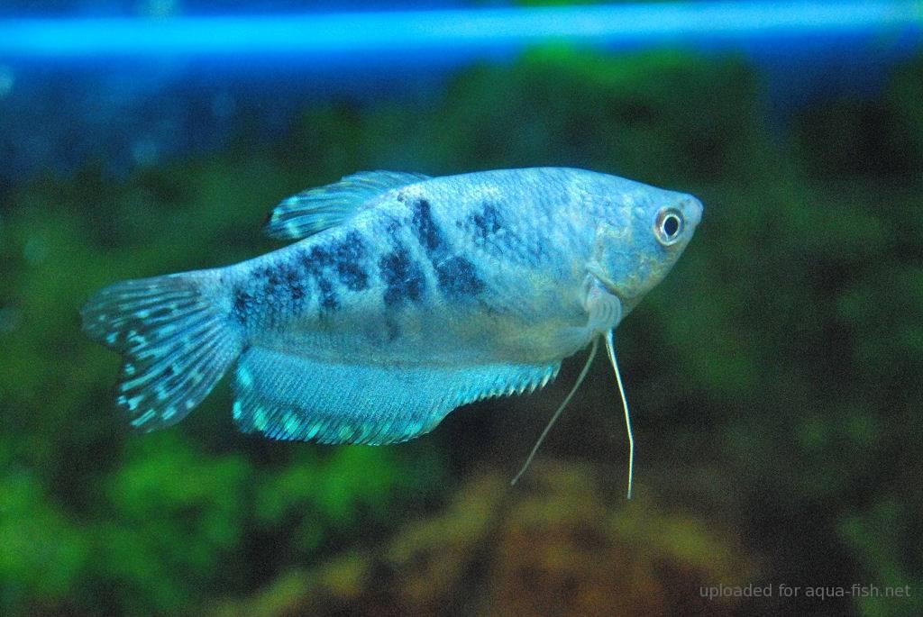 Blue Gourami : Trichogaster Trichopterus Blue Gourami 1 Pictures
